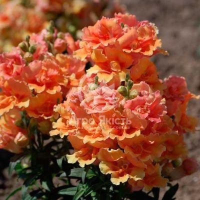 Ротики садові (Антірріум) Твінні персиковий 100 насінин