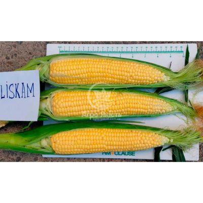 Кукурудза цукрова суперсолодка Ліскам F1 (HMX4366YS F1) / Lyskam  (HMX4366YS F1) F1 5000 насінин (Clause)