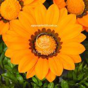 Газанія Газу помаранчева з обідком 100 насінин (Syngenta)