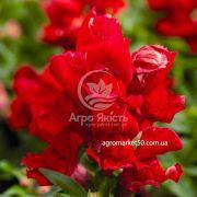Ротики садові (Антірріум) Монтего скарлет 100 насінин (Syngenta)