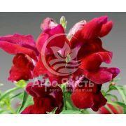 Ротики садові (Антірріум) Монтего червоний 100 насінин