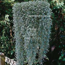 Дихондра Серебряный водопад 5 семян