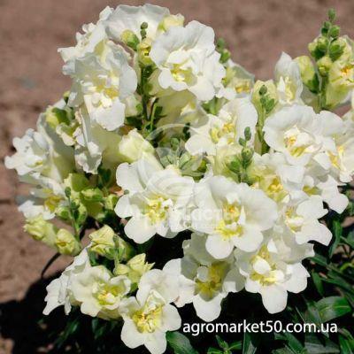 Ротики садові (Антірріум) Твінні білий 100 насінин