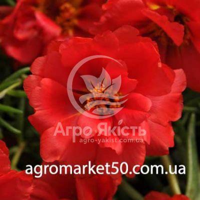 Портулак махровий Хеппі Ауер темно червоний 200 насінин