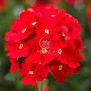 Вербена великоквіткова червона 0,1 г