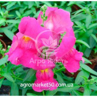 Антіріум Снеппі рожево - ліловий 100 насінин