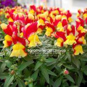 Ротики садові (Антірріум) Снеппі помаранчево - жовтий 100 насінин