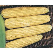 Кукурудза цукрова Мегатон F1 20 насінин (Clause)