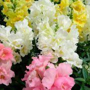 Ротики садові (Антірріум) Твінні суміш 100 насінин