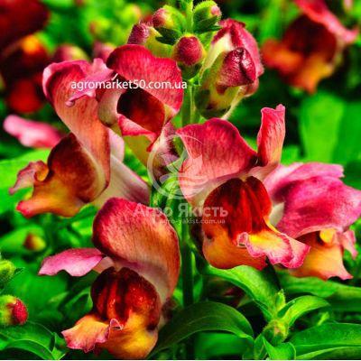 Ротики садові (Антірріум) Монтего сансет 100 насінин (Syngenta)