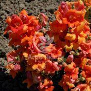 Ротики садові (Антірріум) Твінні бронзова з прожилками 100 насінин