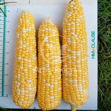 Кукурудза цукрова суперсолодка Камберленд F1 / Cumberland F1 50 насінин