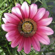 Газанія Кісс рожева 100 насінин (Syngenta)