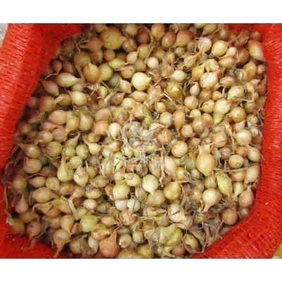 Цибуля сіянка Штутті 0,5 кг, 8/16 мм (Triumfus Onion Products)