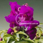 Ротики садові (Антірріум) Монтего фіолетовий 100 насінин
