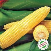 Кукурудза цукрова Оверленд F1 50 насінин (Syngenta)