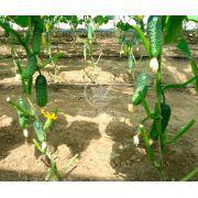 Огірок Еколь F1 10 насінин (Syngenta)
