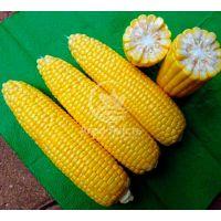 Кукурудза цукрова Турбін F1 / Turbin F1 50 насінин, суперсолодка  (Clause)