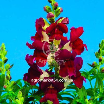 Ротики садові (Антірріум) Монтего бургунді біколор 100 насінин