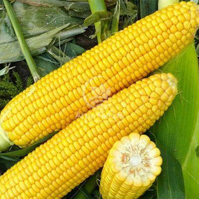 Кукурудза цукрова Харді F1 / Hardi 50 насінин, суперсолодка Pop Vriend Seeds (Hazera)