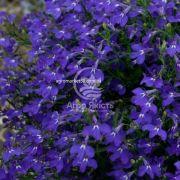 Лобелія Регата темно - синя 200 насінин