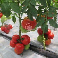 Томат Целестин F1 / Celesteen 10 семян, индетерминантный (Clause)