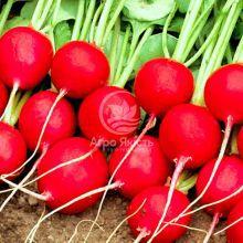 Редиска Селеста F1 / Celesta F1 50000 насінин, каліброване насіння 3,00-3,25mm (Enza Zaden)