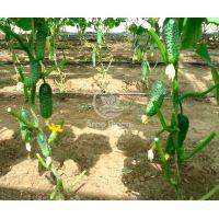 Огірок Еколь F1 500 насінин (Syngenta)