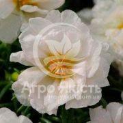 Портулак махровий Хеппі Ауер білий 200 насінин