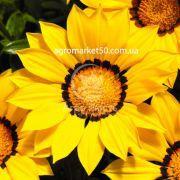 Газанія Газу жовта з обідком 100 насінин (Syngenta)